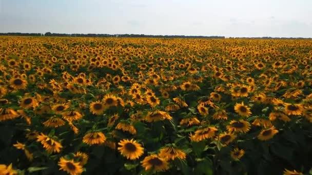 Letecký pohled na slunečnicový pole. Letecký pohled na pole slunečnic, Prohlédněte si kvetoucí slunečnice na nebeském pozadí let přes slunečnici. Slunečnicové pole slunečného dne. Letecký výhled kvetoucí slunečnice