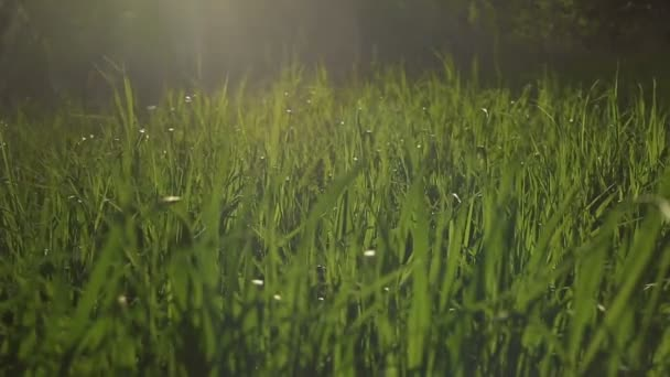 Západ slunce proti zelené cukrové třtiny, na větru s blesky a žluté paprsky.