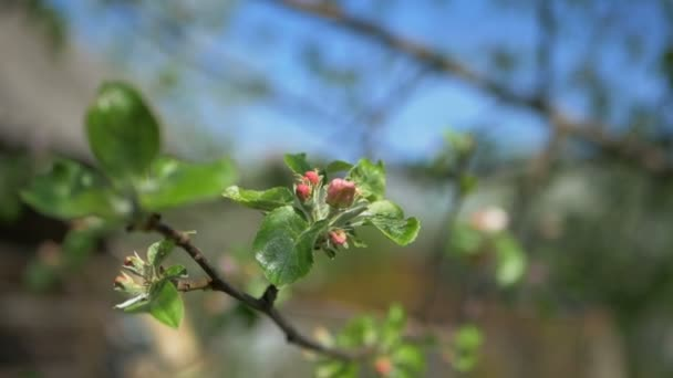 Close up for white apple flower buds on a branch. Closeup on flowering bloom of apple tree blossoming flowers in spring garden. Slow motion. Shallow DOF. Spring day. Blue sky