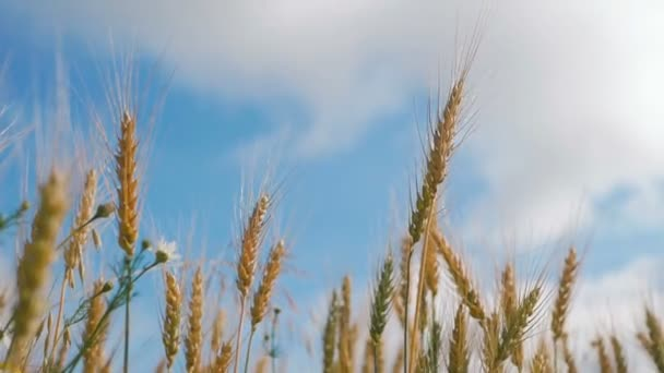 Concept of bread and agriculture. Wheat crop sways on field against blue sky. Amber waves of wheat grain blowing in wind. Grain harvest ripens in summer