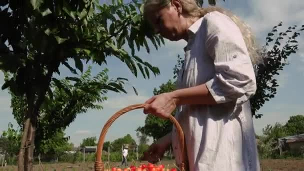 Blonde woman in a bright sunny day picking cherries