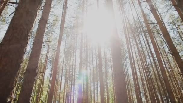 Akumulující paprsky slunce a aby jejich cestu přes kmeny stromů jedle v lese