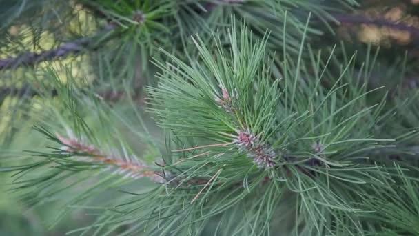 Zöld ága a Christmas tree a éles tű a szél fenyő tűlevelek.