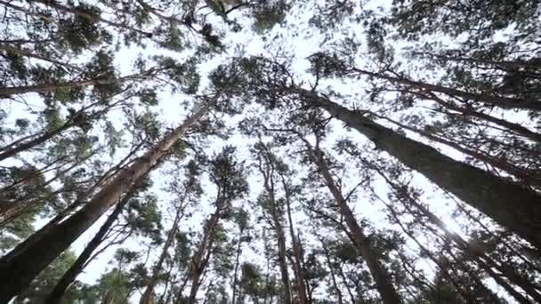 Vyhledávání v lese, Pov přes vrcholky stromů, slunce svítí skrz listoví.
