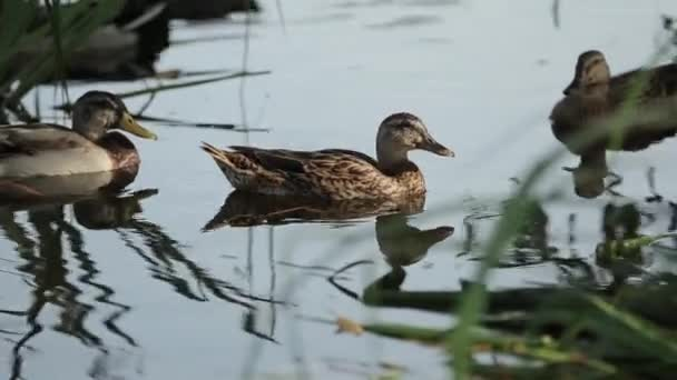 A brood of Ducks swim close in the thickets of the pond. Wild birds in their habitat.