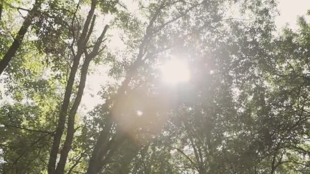 Sun Shining Sunbeams Through Branches And Leaves Of Trees In Pine Forest.Sunbeams Through Wood Leaves in Motion. Sun Peaking Through Branches.Sun rays in pine forest steadycam move