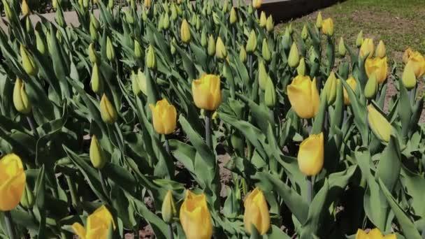 Felvételeit gyönyörű színes sárga tulipán virágok nyílnak tavasszal kertben. Dekoratív tulipánvirág virágzik tavasszal. Természet szépsége.