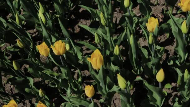 Footage of beautiful colorful yellow tulips flowers bloom in spring garden.Decorative tulip flower blossom in springtime.Beauty of nature.