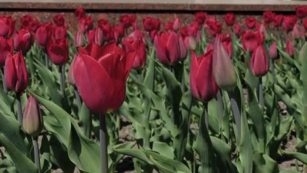 Virágágyások a piros, sárga és narancssárga tulipán. Közelkép a vörös csillag tulipán