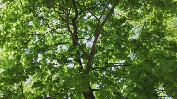 Spaziergang durch den Sommerwald. Baumkronen und Sonnenstrahlen. uhd 4k.