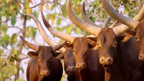 ankole watusi, watisu cow, watusi rinder