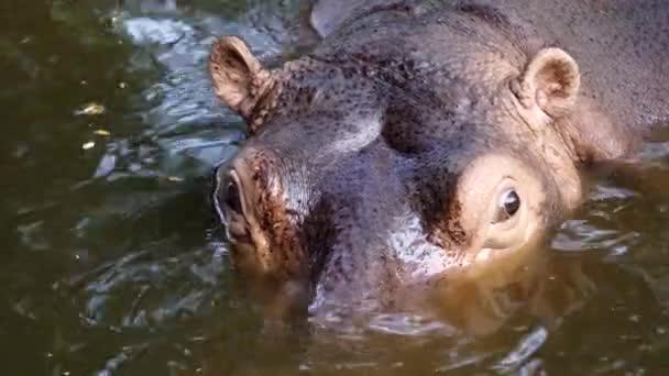 hippopotamus in the river