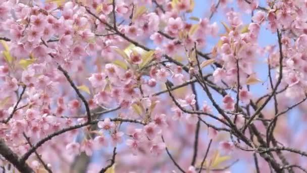 Bělostně bílá a divoká himákanská třešňová květina