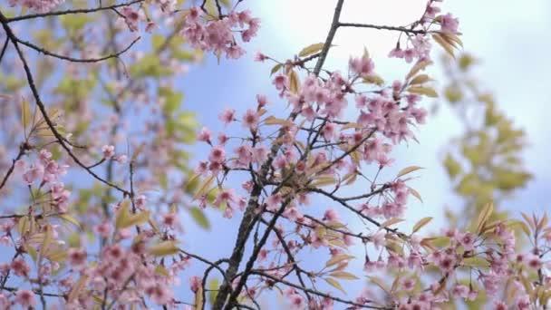 Orientális Fehérszemű, vad himalájai cseresznyevirág