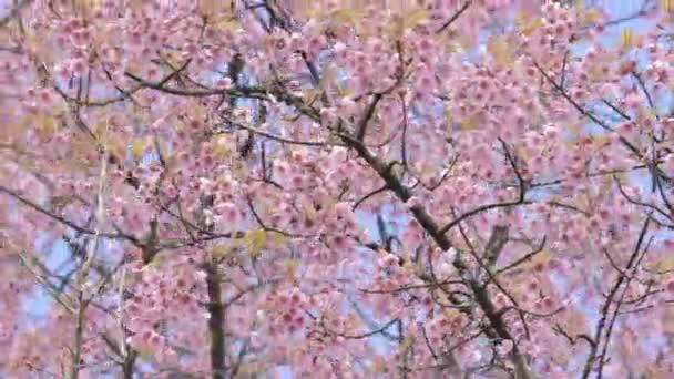 divoké himálajské třešňový květ