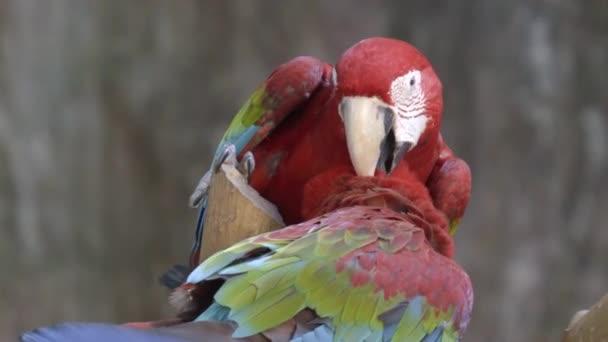 röd Ara papegoja fågel