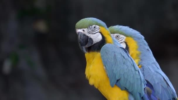 modré a žluté papoušek ara ararauna