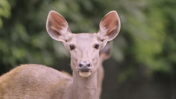 jelen sambar v lese