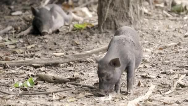 ázsiai vaddisznó állatkertben