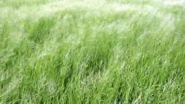 wildes Gras, das im Wind weht