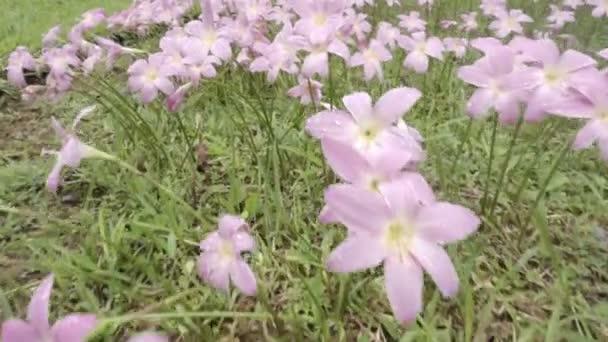 Zephyranthes Lily vagy Rain Lily