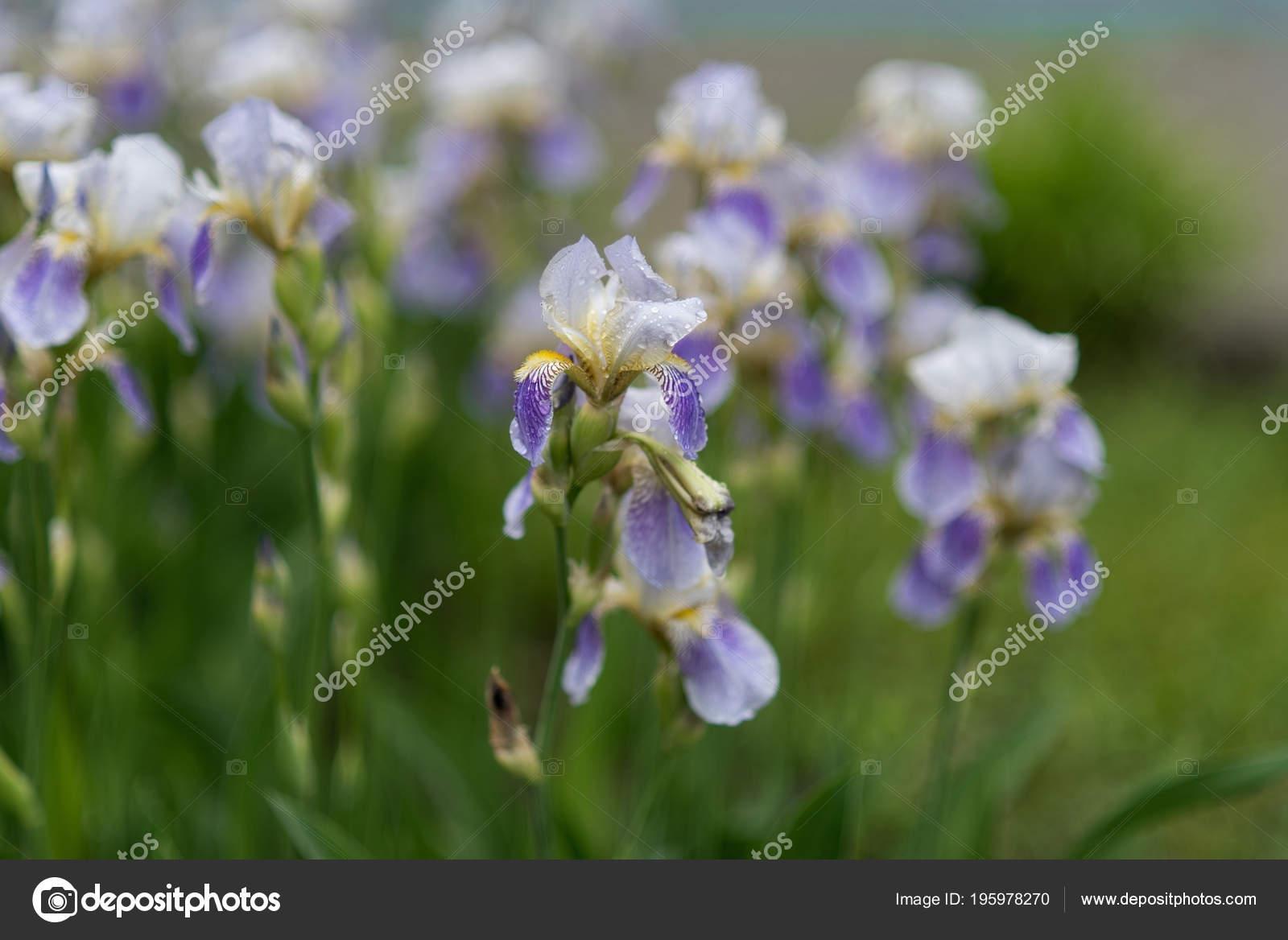 Beautiful Blooming Iris Flowers Garden Stock Photo Serenkonata