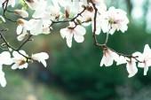 Fotografie Kvetoucí strom nad přírodní pozadí. Jarní květiny. Jaro na pozadí. Magnolie větev do slunečného rána. Krásná bílá magnólie na pozadí modré oblohy. v botanické zahradě kvetoucí magnólie