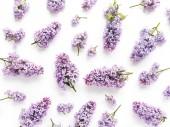 Fialové lila květy na bílém pozadí