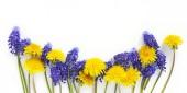 Fotografie Fialové květy Modřenec a pampelišky na bílém pozadí