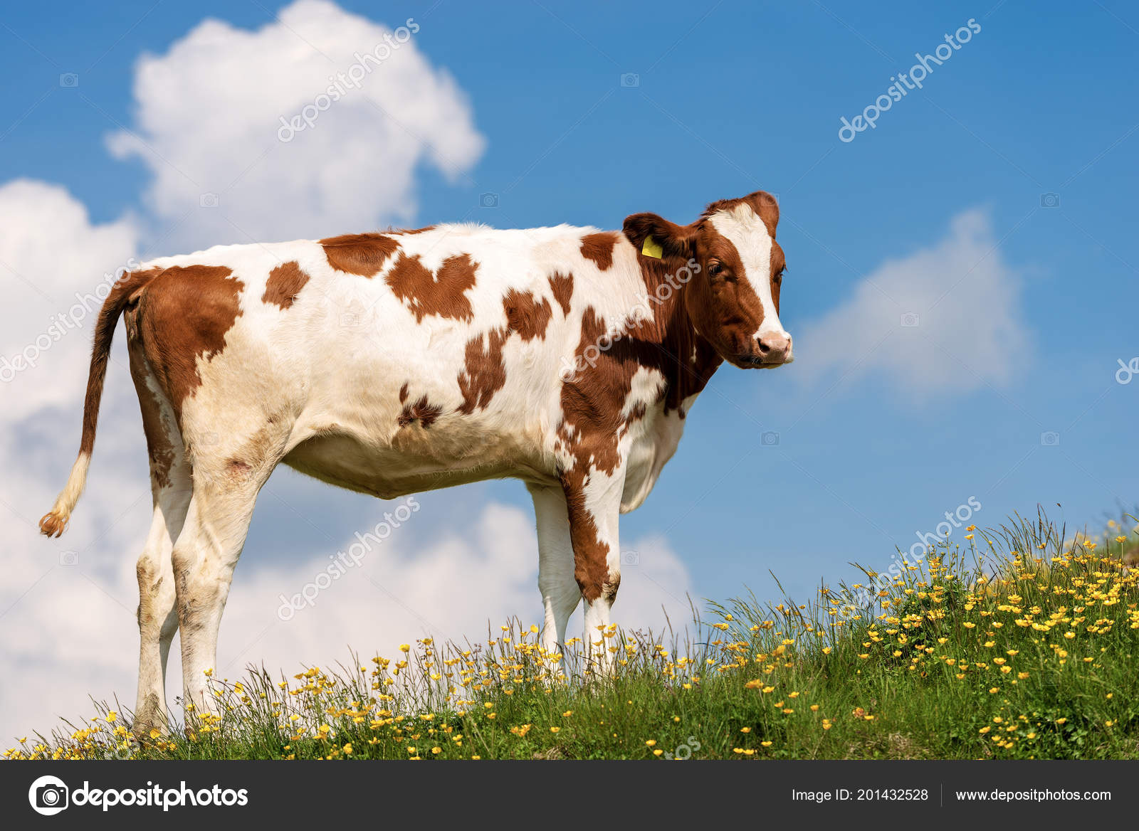 White Brown Calf Mountain Pasture Green Grass Yellow Flowers Blue
