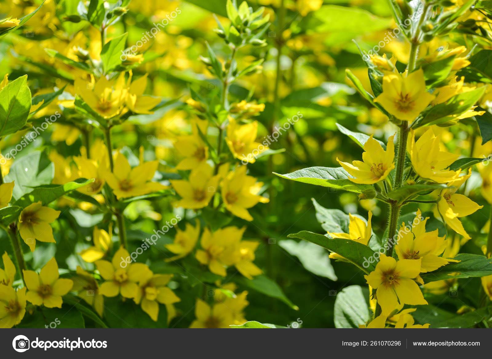 Yellow flowers on a vertical base (Lysimachia punctata