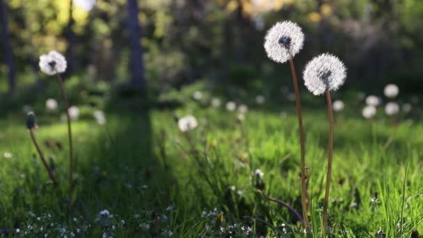 Pampeliška v trávě. Slunečný den.
