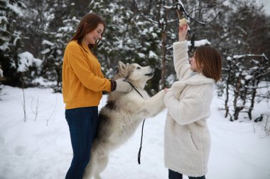 Girls are playing with dog Alaskan Malamute and feeding him for a walk in winter.