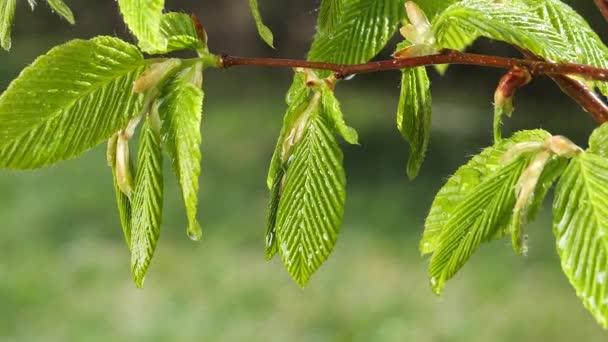 goccia di pioggia dacqua con foglia verde fresca per sfondo naturale di ravvicinamento goccia di rugiada caduta dalla foglia