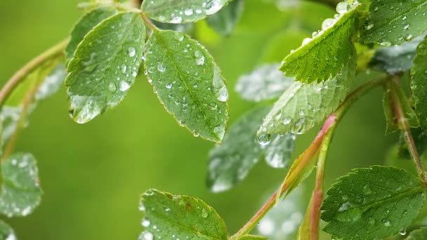 Zöld levél esőcseppek a nyári természetben alakul ki a szél