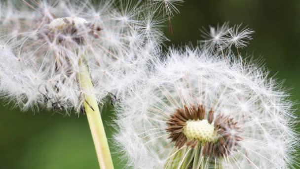 Dandelion na pozadí zelené přírody v létě na poli