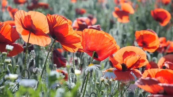 Summer poppy flowers on green field