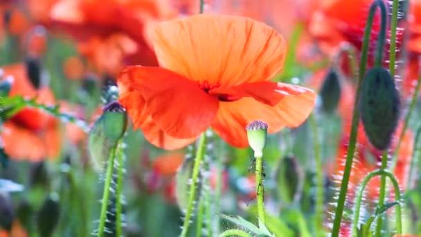 Letní mák květiny na zelené louce