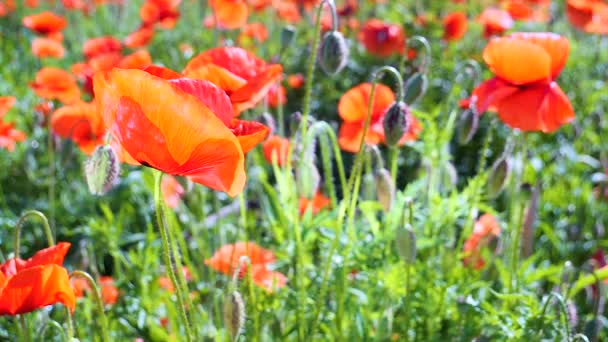 Summer poppy flowers on green field