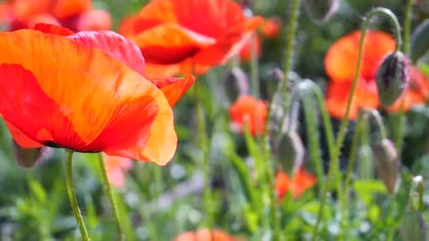 Nyári mámvirágok zöld területen