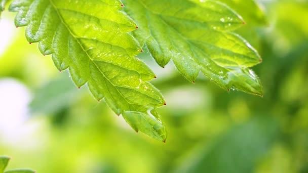 Zelený list s dešťovou vodou na letním období se rozvíjí ve větru