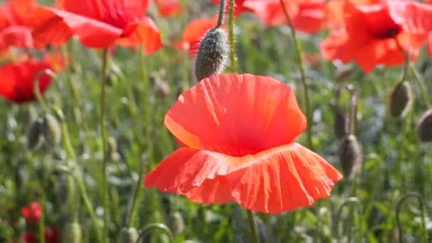 Vörös, vad mák virág a területen napfelkeltekor
