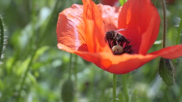Red wild poppy flower in a field at sunrise