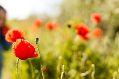 poppies field in rays sun spring flowers