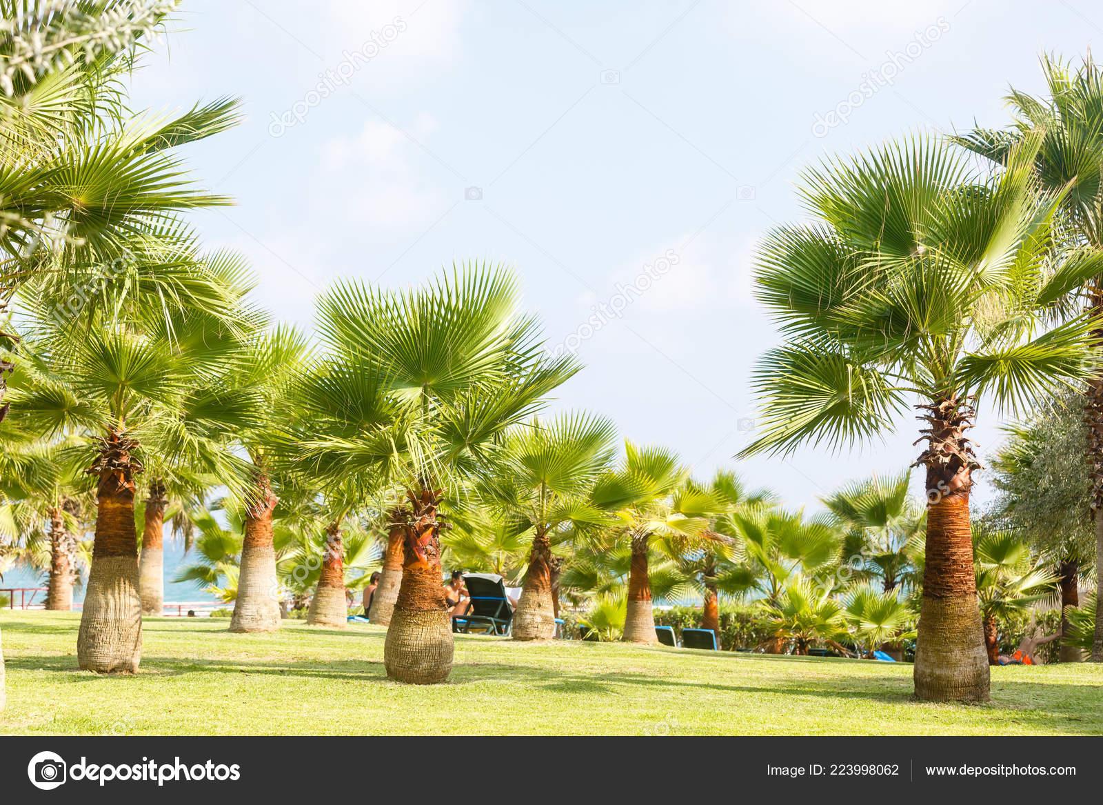 Lushy Green Palm Trees Tropic Garden Stock Photo C Sinenkiy
