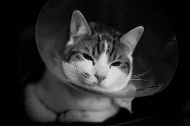 closeup portrait of a ginger tabby cat wearing an Elizabethan collar after a fight