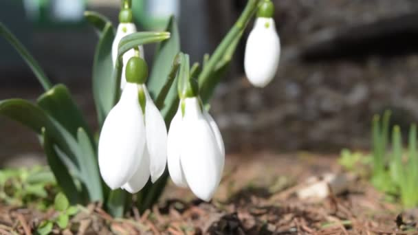 close-up detail of snowdrops flower in the natural environment