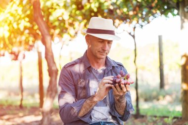 Agricultural checking quality wine grapes in vineyard. Winemaker examining grapes. Traditional winery business. Wine grower examining grapes before harvesting. Organic grapes production