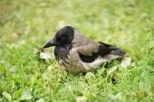 Fotografia Gazza uccello sullerba verde
