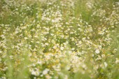 Fotografie huge field of summer daisies